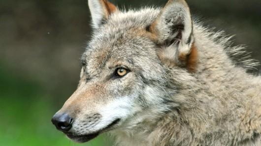 Im Landkreis Celle ist ein Wolf illegal abgeschossen worden. (Symbolbild)