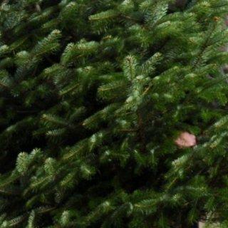 Bei den Bäumen handelt es sich um Nordmanntannen in den Größen klein, normal und XXL (Symbolbild).