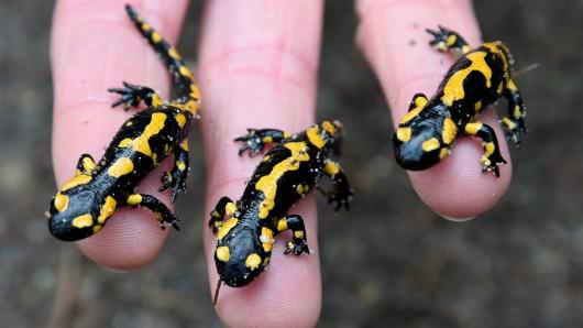 Drei kleine Feuersalamander sitzen auf einer Hand. (Archivbild)